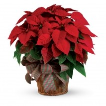 Christmas Poinsettia Flowers